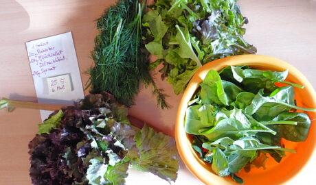 1 Kopfsalat - 20g Rabarber - 120g Pflücksalat - 14g Spinat - Dill nach Wahl [25. Mai]