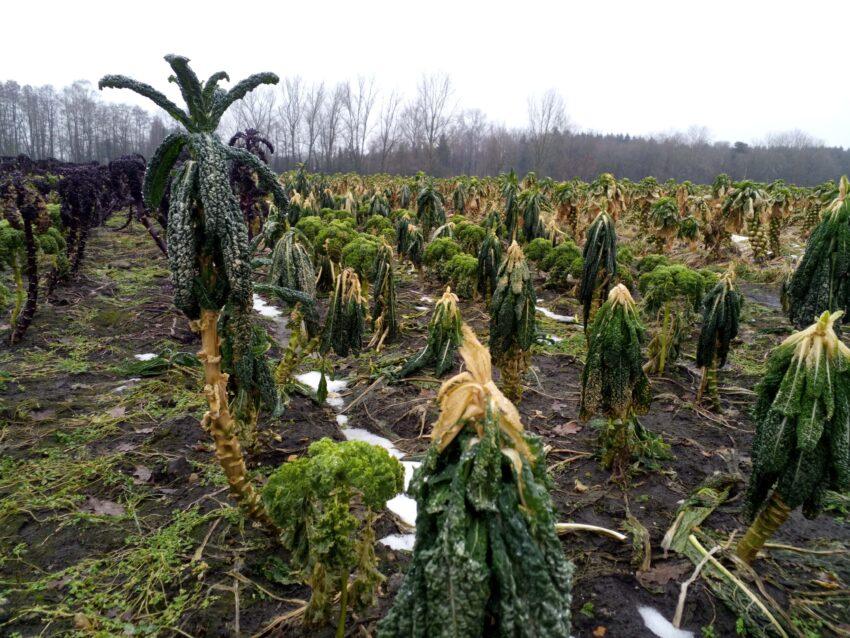 Dieser aufrechte toskanische Palmkohl ist einer der wenigen Überlebenden der Frostperiode