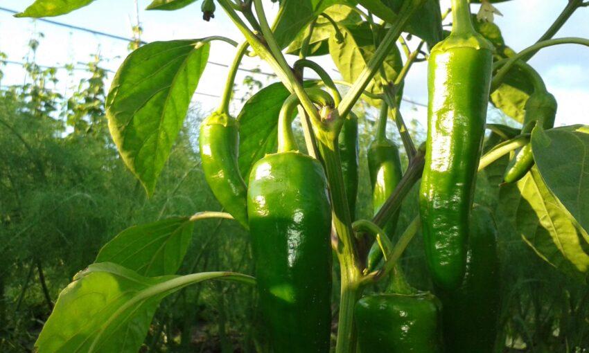 Grüne Paprika auf dem Acker der Solawi Superschmelz