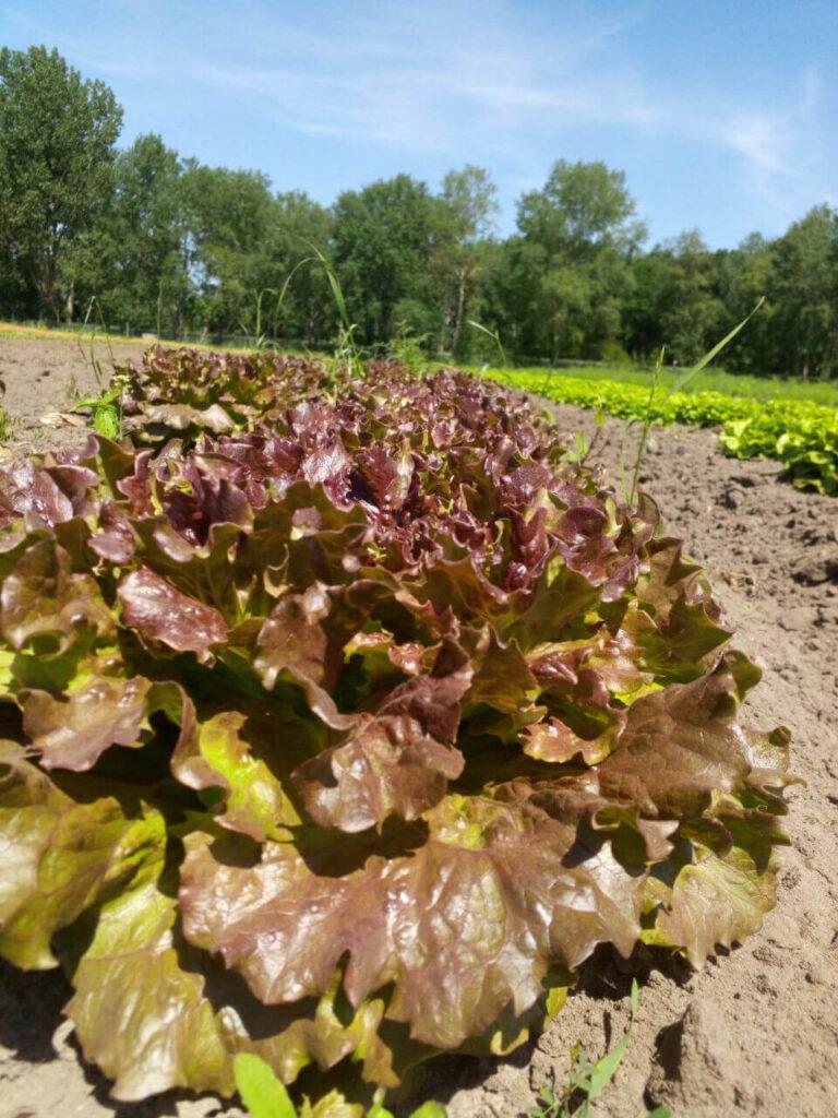 Salat im Freiland auf dem Acker der Solawi Superschmelz