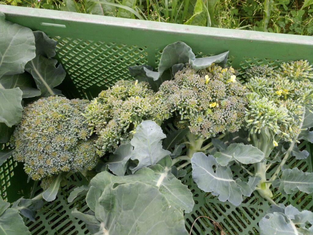 Brokkoli Solawi Superschmelz