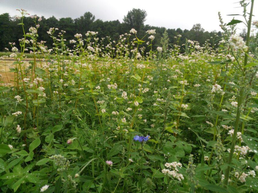 Blühstreifen auf dem Kohlfeld Solawi Superschmelz