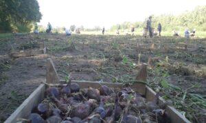 Ernte-Aktionstag für Groß und Klein @ Solawi-Acker - Biohof Quellen