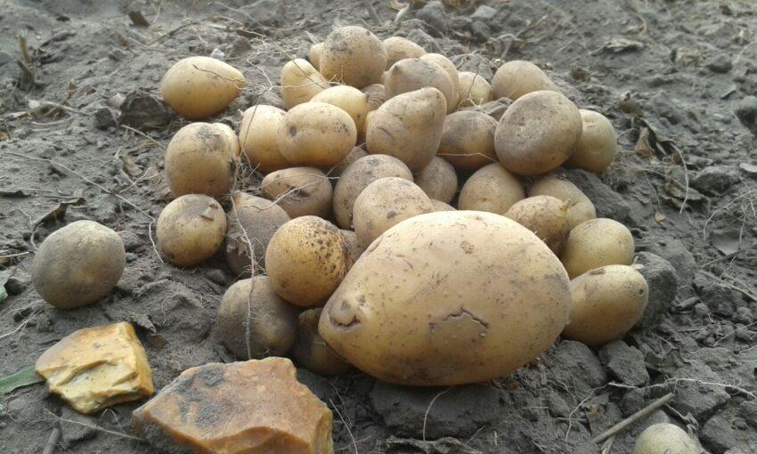 Kartoffeln liegen auf dem Acker